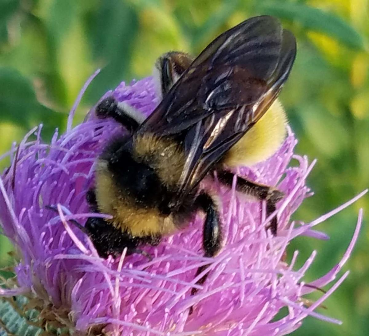 American Bumblebee on Tall Thistle