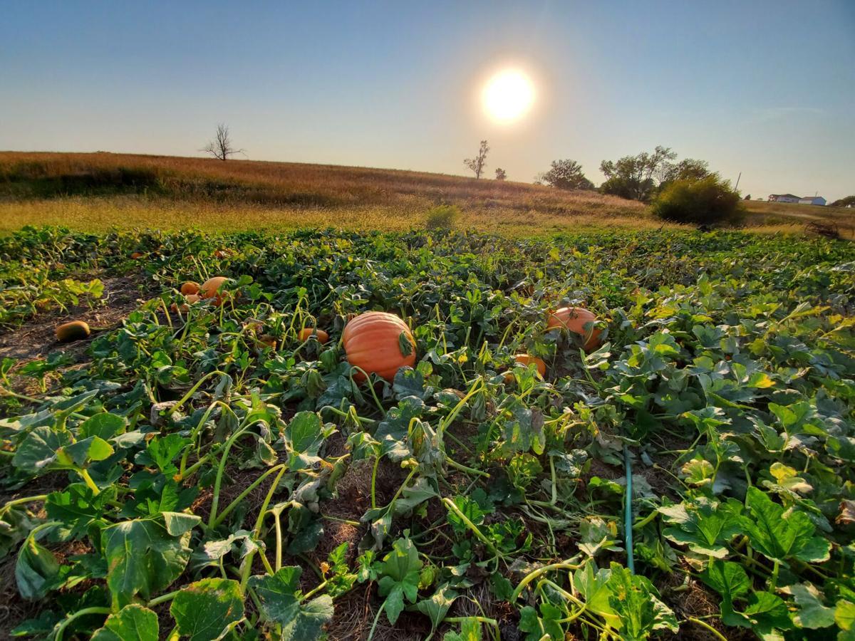 092920-du-pumpkins1