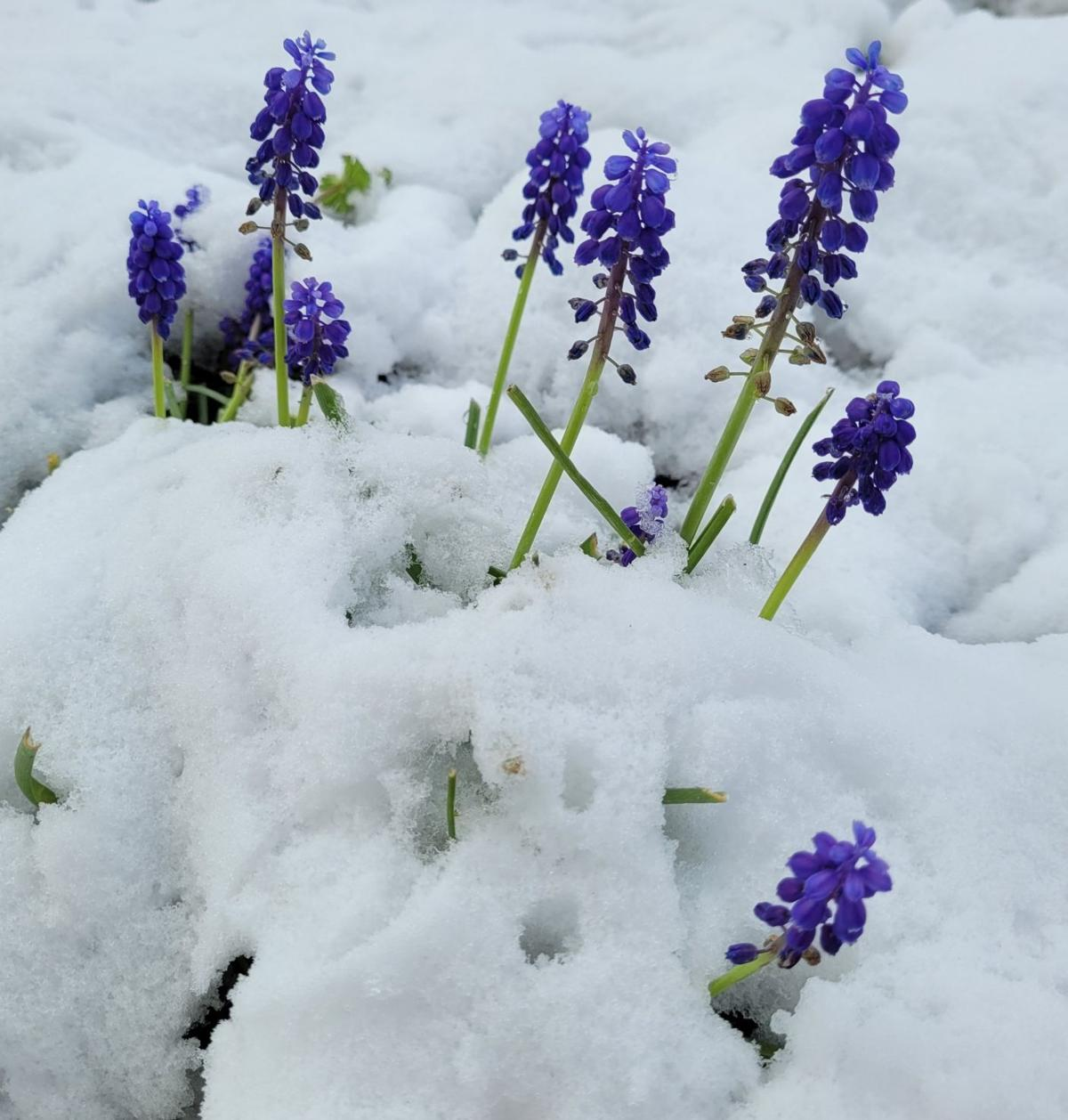 Bluebells poke their way out of snow