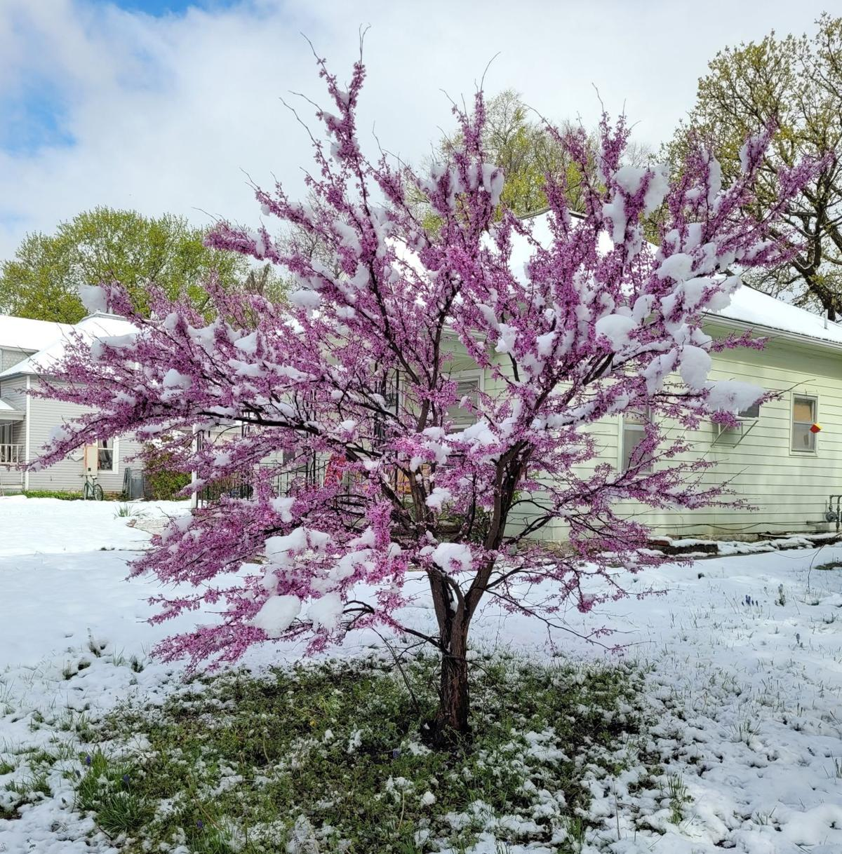 Red bud tree covered in melting snow