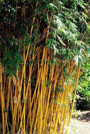 Alphonse Karr Bamboo Incredibly Beautiful And Mild