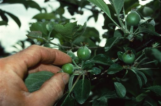 Gardening-Thinning Fruit
