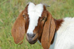 Happy babby Goat