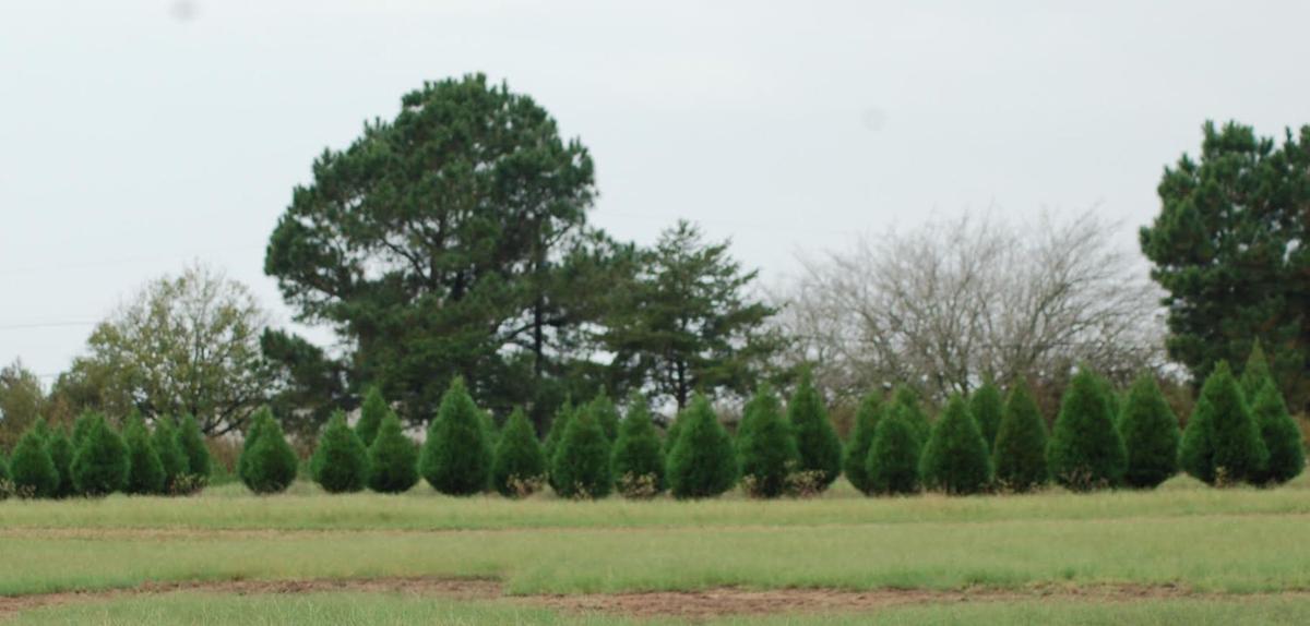 Elgin Christmas Tree Farm.A Family Tradition Texadventures Kdhnews Com