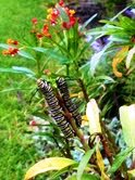 Monarch caterpillars munch on butterfly weed