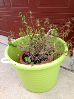 If A Potted Plant Regularly Shrivel And Die It May Need To Be Watered More Frequently And More Thoroughly