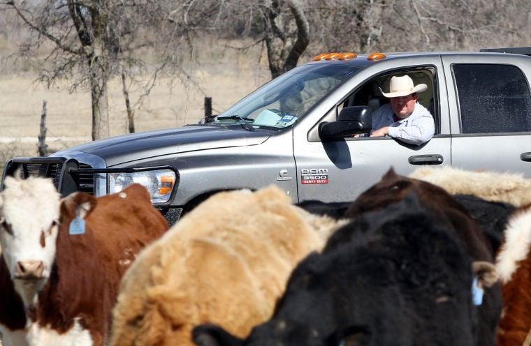 Breaking into cattle