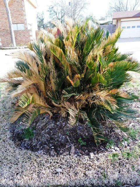 Sad Sago palm