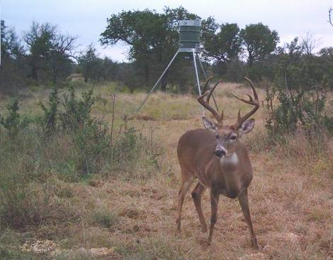 Whitetail buck at spin cast feeder