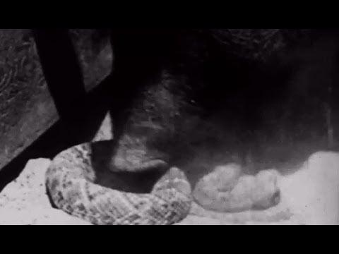 Rattlesnake meets hog