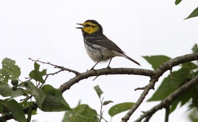 Endangered Birds on Fort Hood