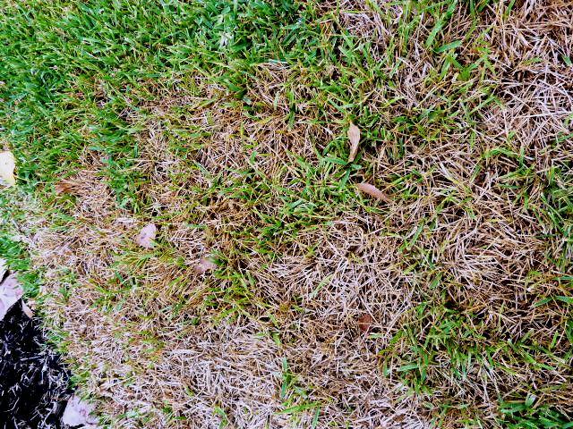 Grubs feed on yards