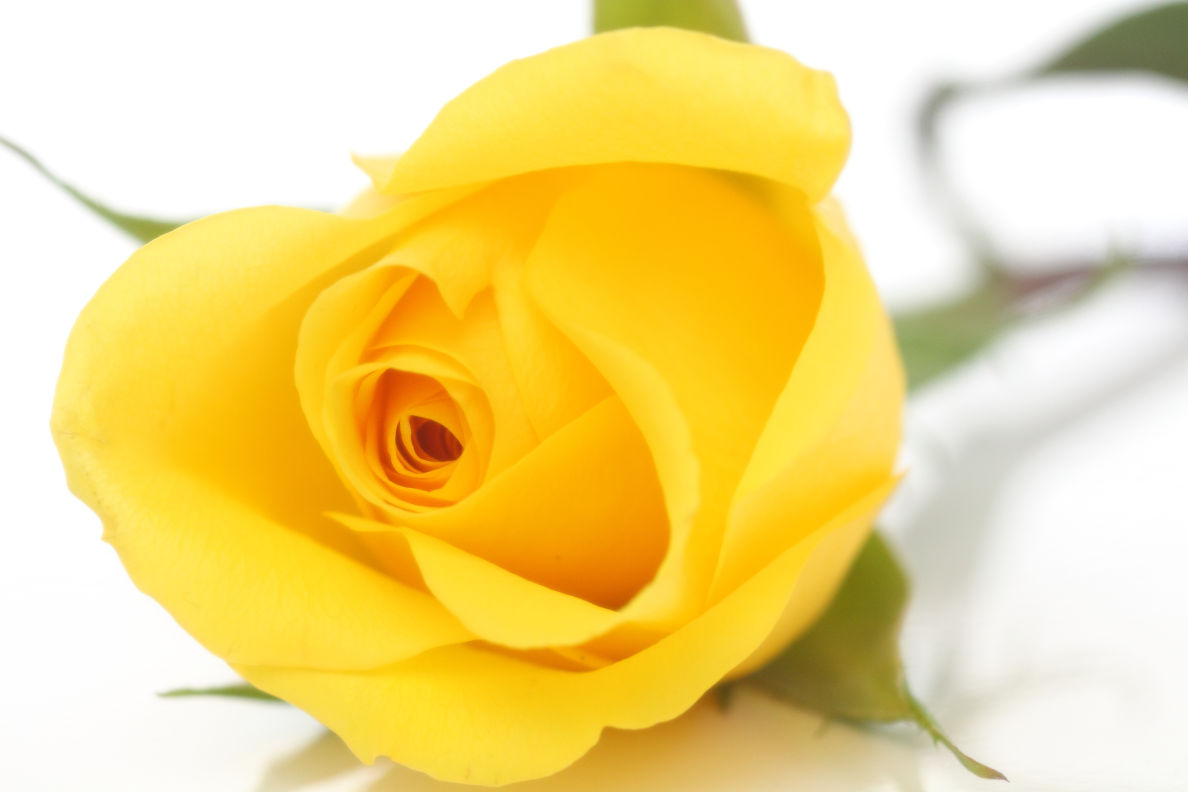 Language of love on valentines day know your flowers and the yellow rose mightylinksfo