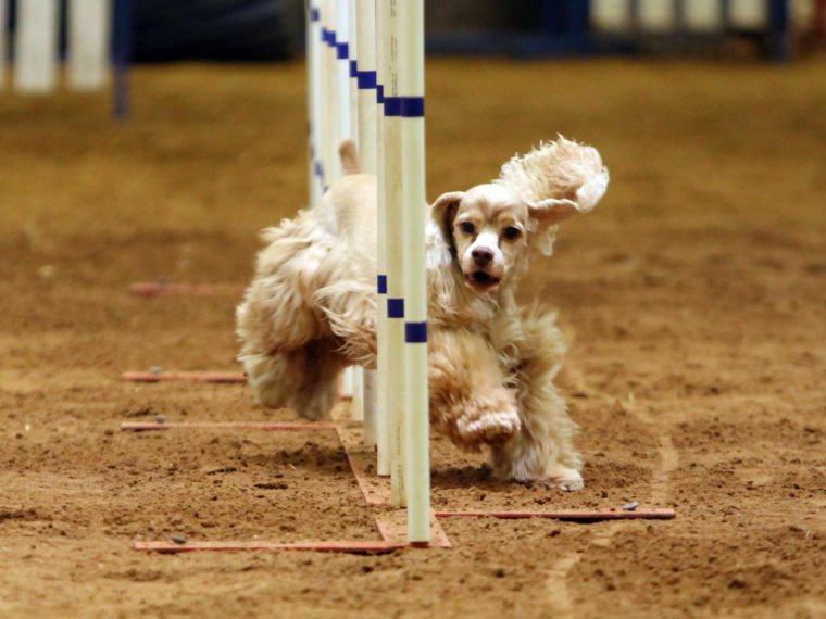 Dogs compete in Bell County Kennel Club's Spring Agility Trial