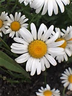 Darling daisies