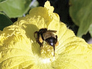 Food crops depend on the hard work of pollinators