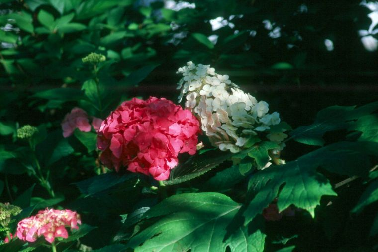 Oakleaf and the French hydrangea