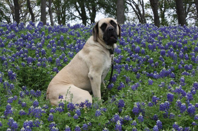 Unimpressed with the blue bonnets