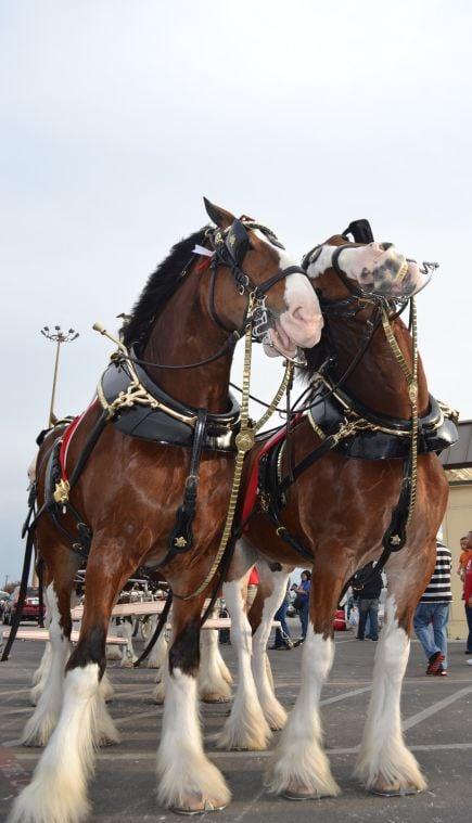 Amerikanische Budweiser Pferde