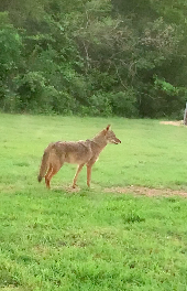 Coyote sightings