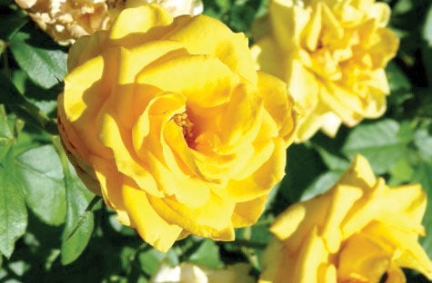 Reasons to give someone a rose outside insights kdhnews this is my all time favorite rose the yellow rose of texas mightylinksfo