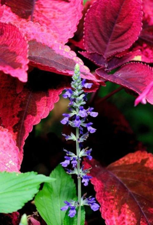 Mariposa coleus with Mystic Spire Blue salvia
