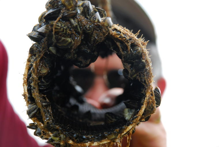 Zebra mussels migration