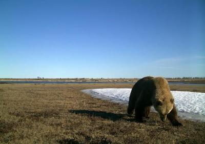 Grizzly bears move north in High Arctic as climate change expands range