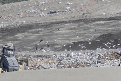 Eagles at the dump