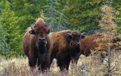 'They're home:' Hike to see Banff bison a spiritual journey for group of women