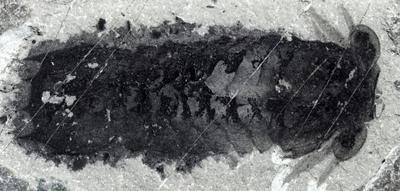 'Staring at me:' Oldest known spider ancestor found in Burgess Shale