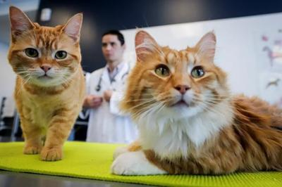 Eyes, ears, whiskers can give away if cats are in pain: study