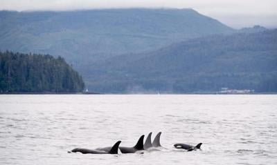 Quiet Salish Sea gives scientists chance to study endangered killer whales