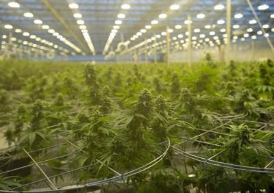 Cannabis company Hexo Corp.'s shares plunge after it lowers Q4 revenue forecast