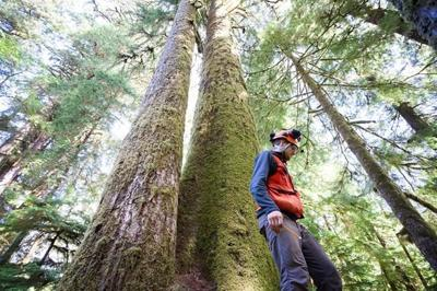 Big, old B.C. trees produce mutations over time that could improve success: UBC