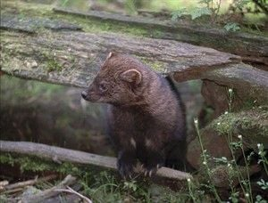 Endangered forest-dwelling fisher to be re-introduced to Cascades over next several years