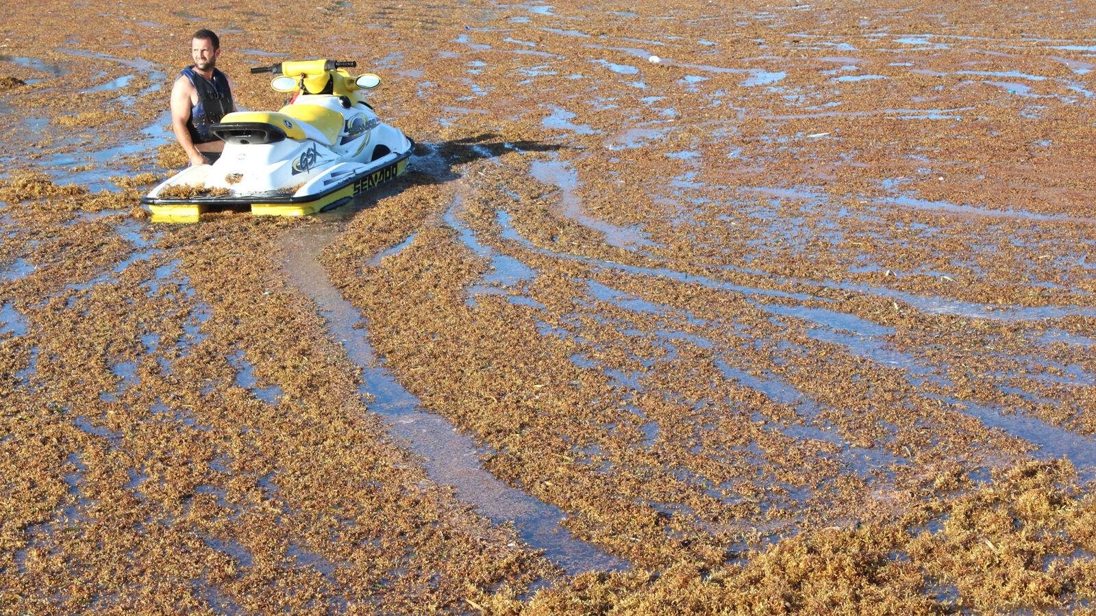 Sargassum solution may be as compost