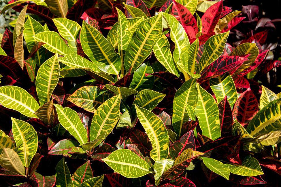 Croton horizontal