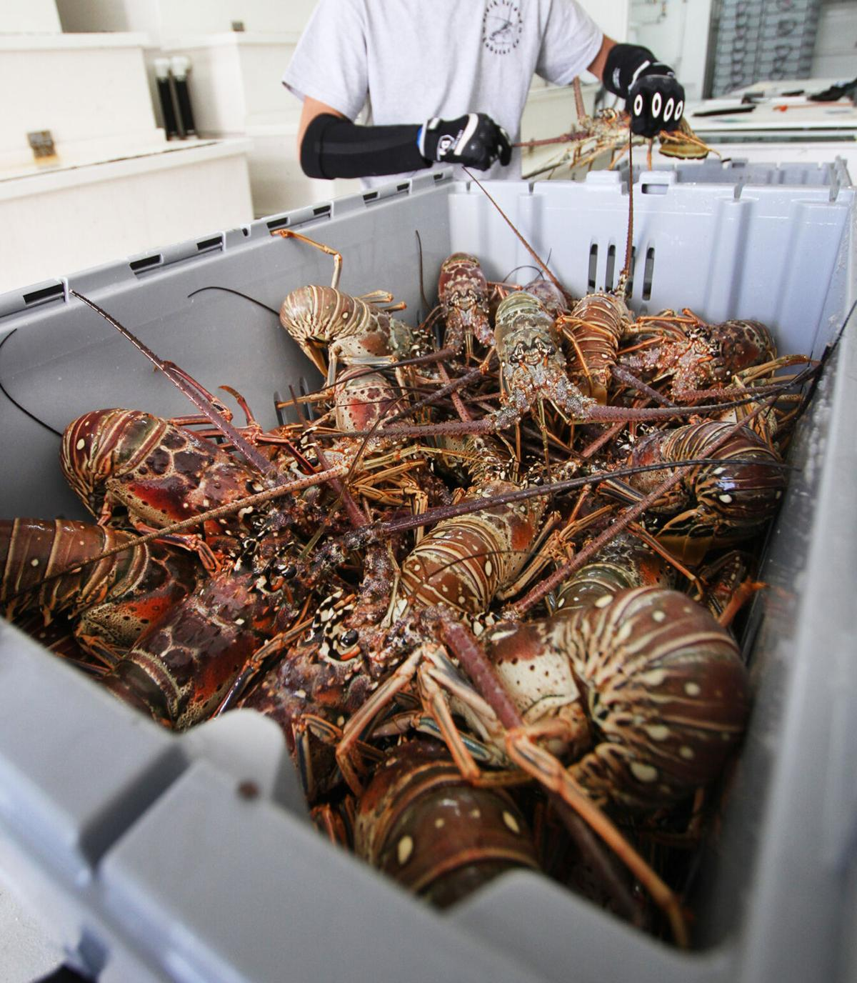Lobster Season Ends 2
