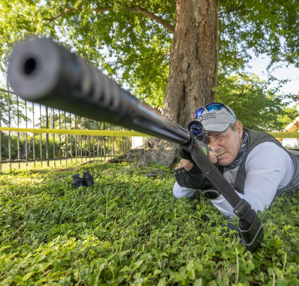 Growing iguana population problem prompts one man to hunt them for a living MAIN