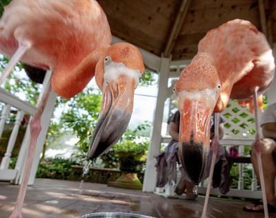 Flamingos not native enough for special status