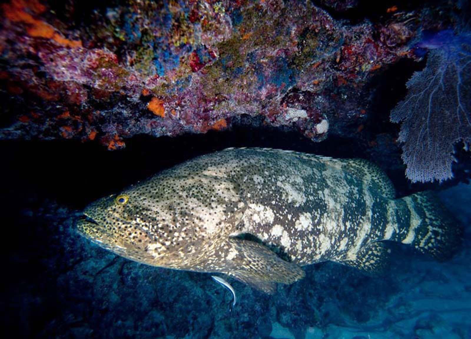 goliath grouper 1