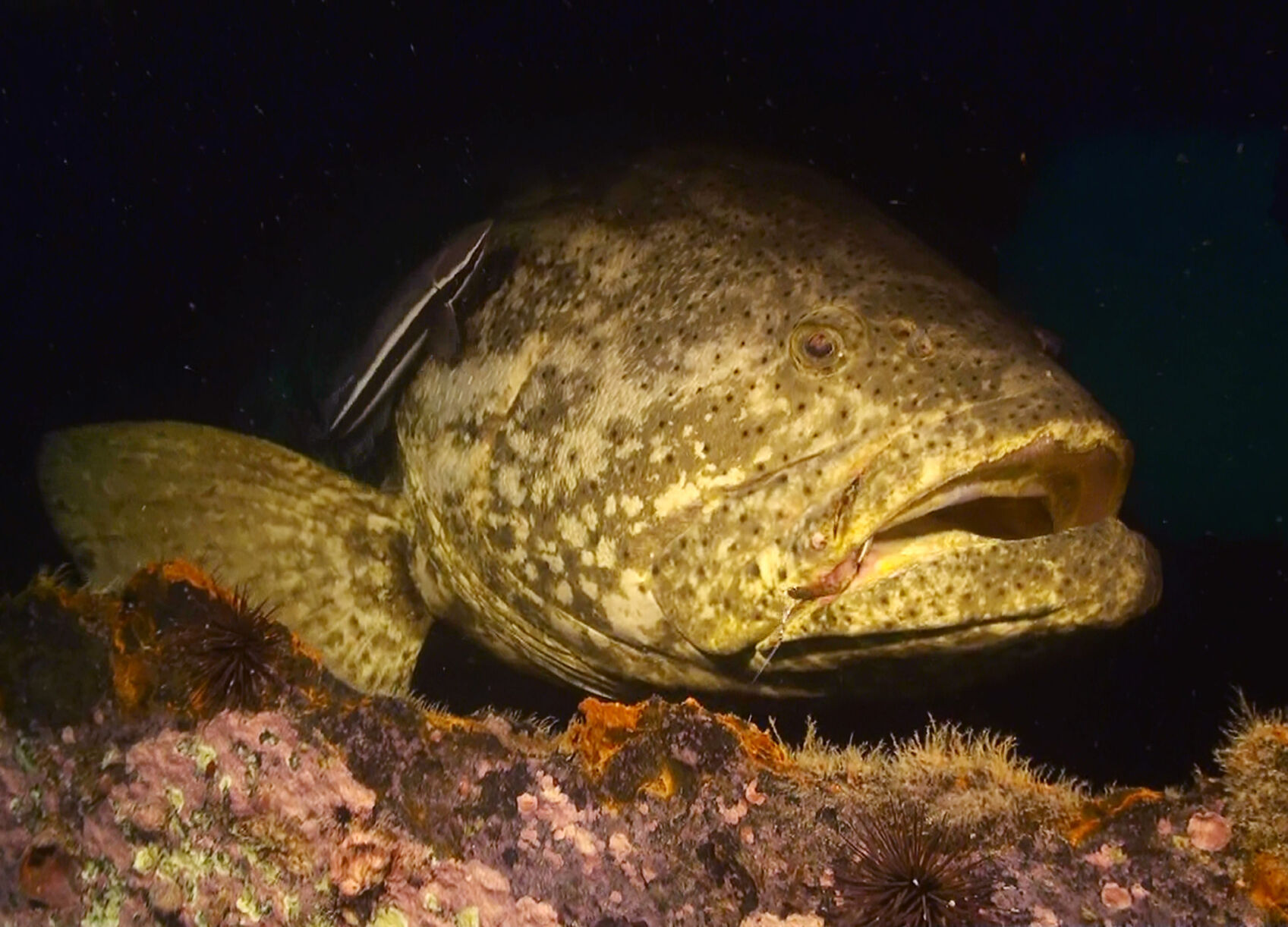 goliath grouper 2