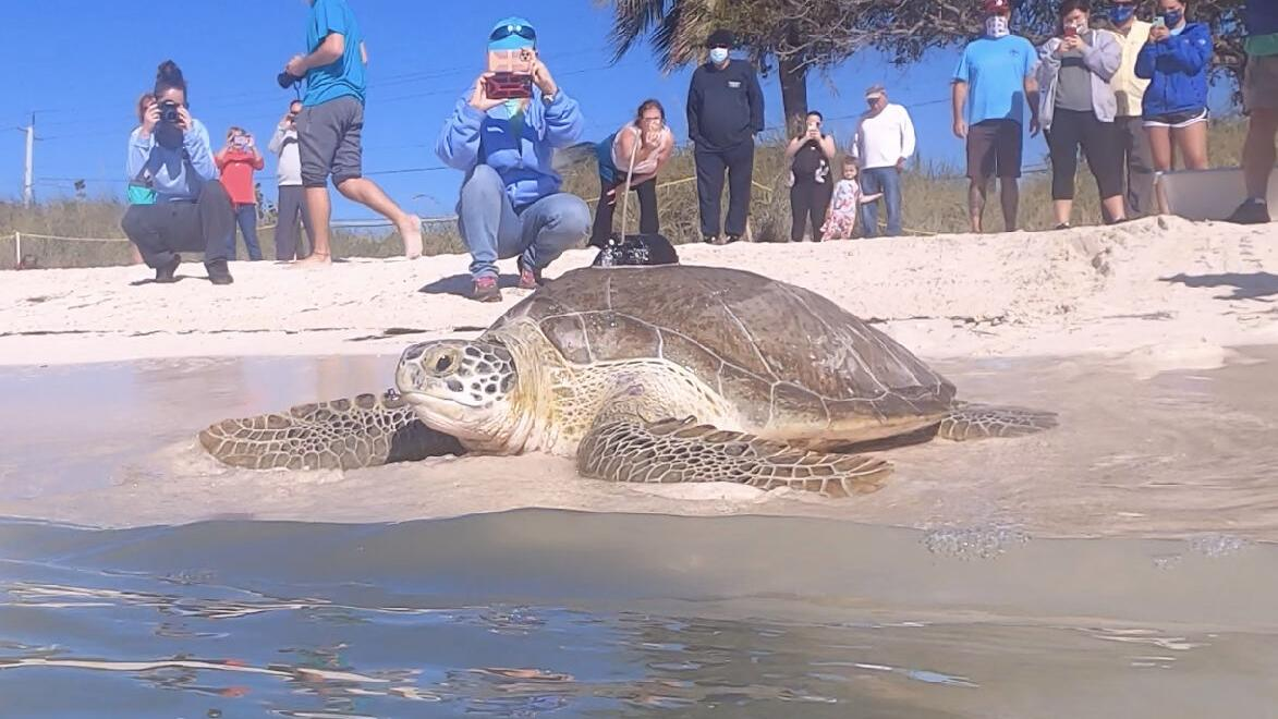 Green sea turtle released