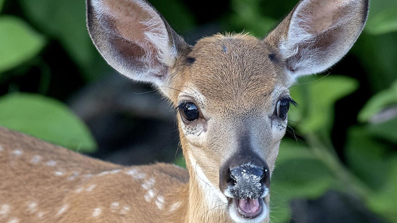 Key deer caught in holding pattern, group says