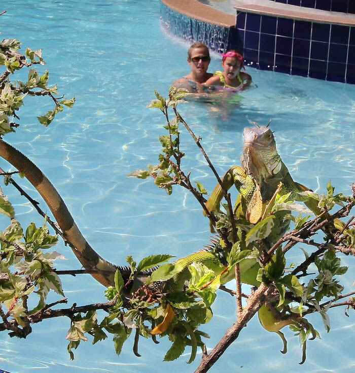 Growing iguana population problem prompts one man to hunt them for a living IGUANA POOL