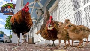 Key West, please don't feed the chickens — or else