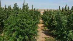 41,000 Lbs of Pot Seized in Eastern Washington