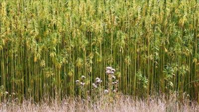 McConnell looks to complete hemp's comeback as crop