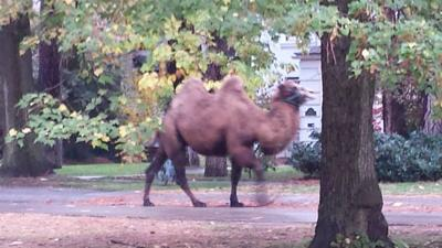 UPDATE: Camel sighting confirmed on Spokane's south hill